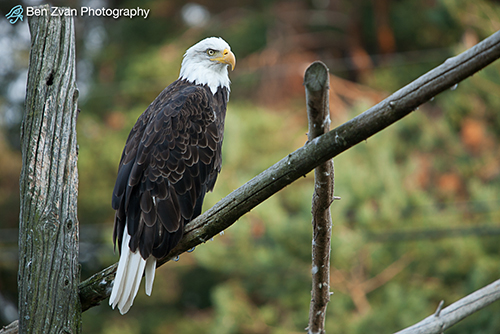 Bird Bald-Eagle