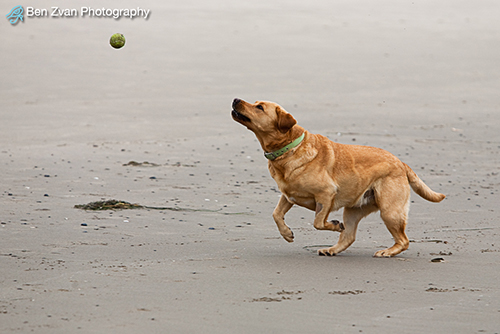 Canus Familiaris-and-Tennis-Ball